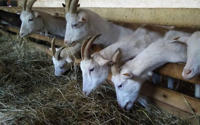 Les chèvres de Monsieur Desmet !