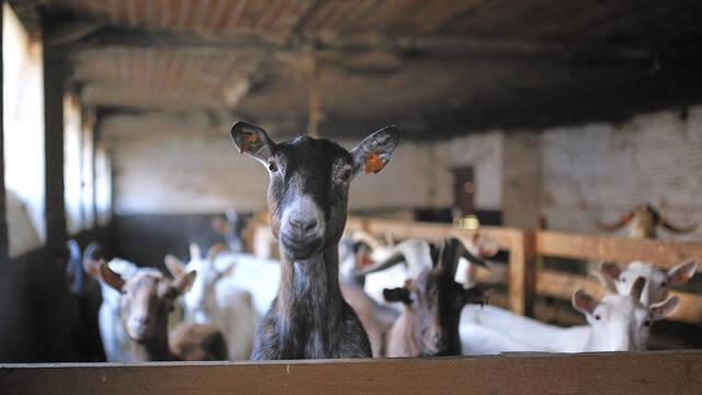 Ah, les fameuses chèvres de Monsieur Desmet !